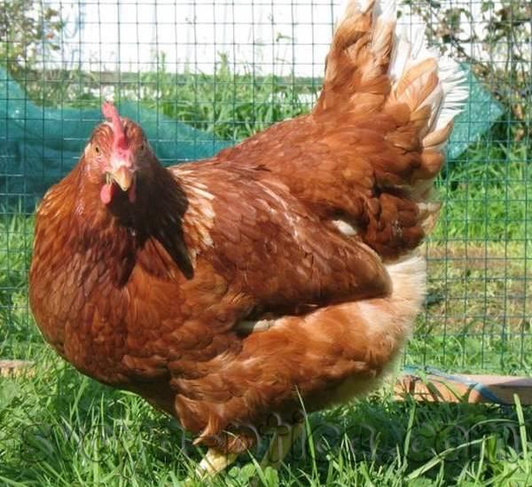 Кубанская красная порода кур: описание, продуктивность породы