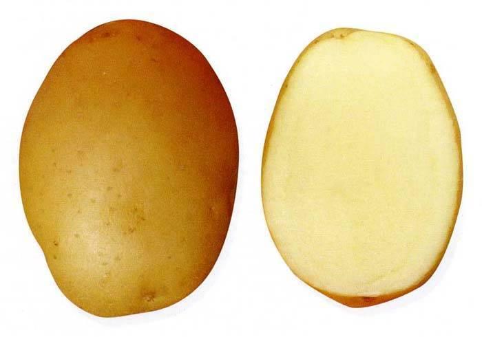 Картофель сорт барин описание