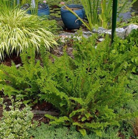 Как вырастить кипарисовик тупой нана грацилис на садовом участке