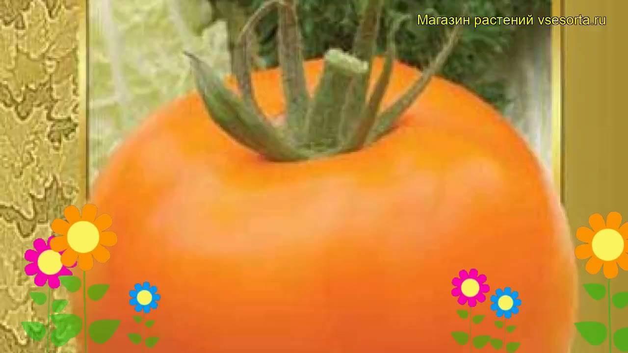 Описание томата с оранжевыми плодами золотая теща и правила выращивания гибридного сорта