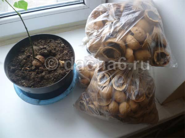 Применение кожуры грецкого ореха