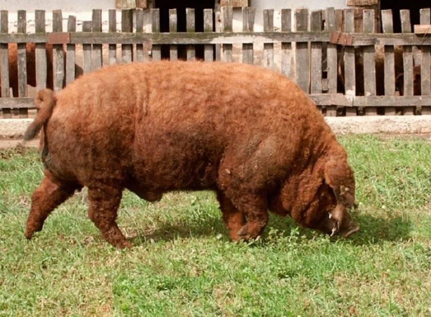 Характеристика и описание породы свиней мангалица венгерская, содержание и разведение