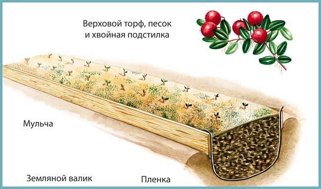 Клюква пилигрим: характеристика, агротехника выращивания