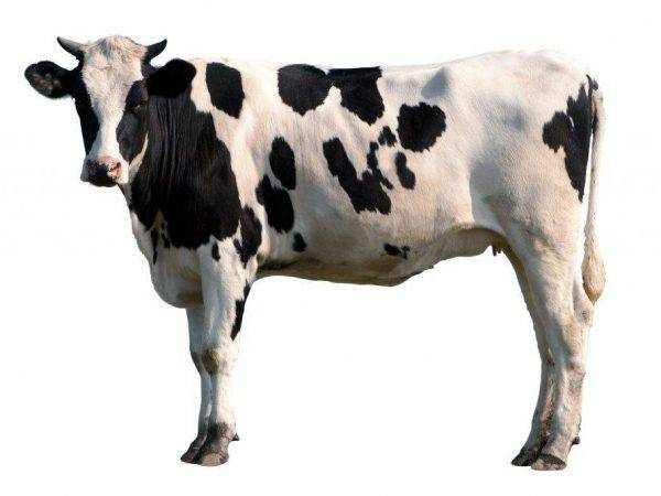 Характеристика коров холмогорской породы