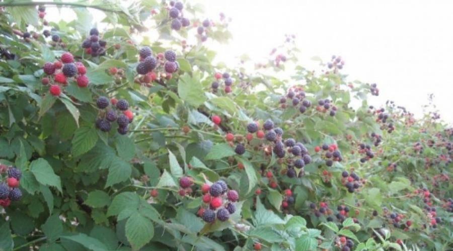 Ежевика торнфри: сорт крупной бесшипной ягоды, которую можно выращивать во многих регионах россии