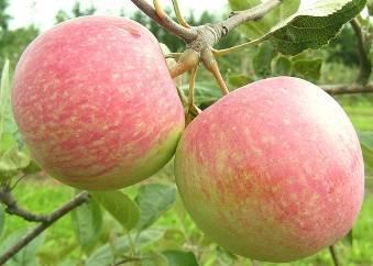 Выращивание яблони орловим