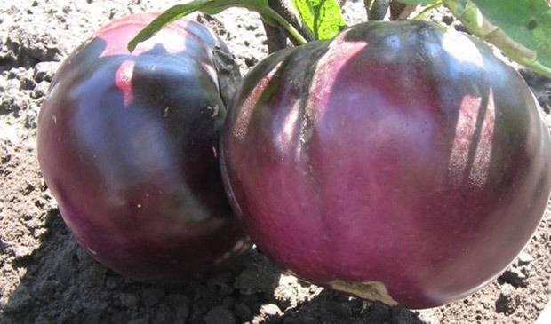 Баклажан валентина: характеристики сорта, фото, выращивание, отзывы