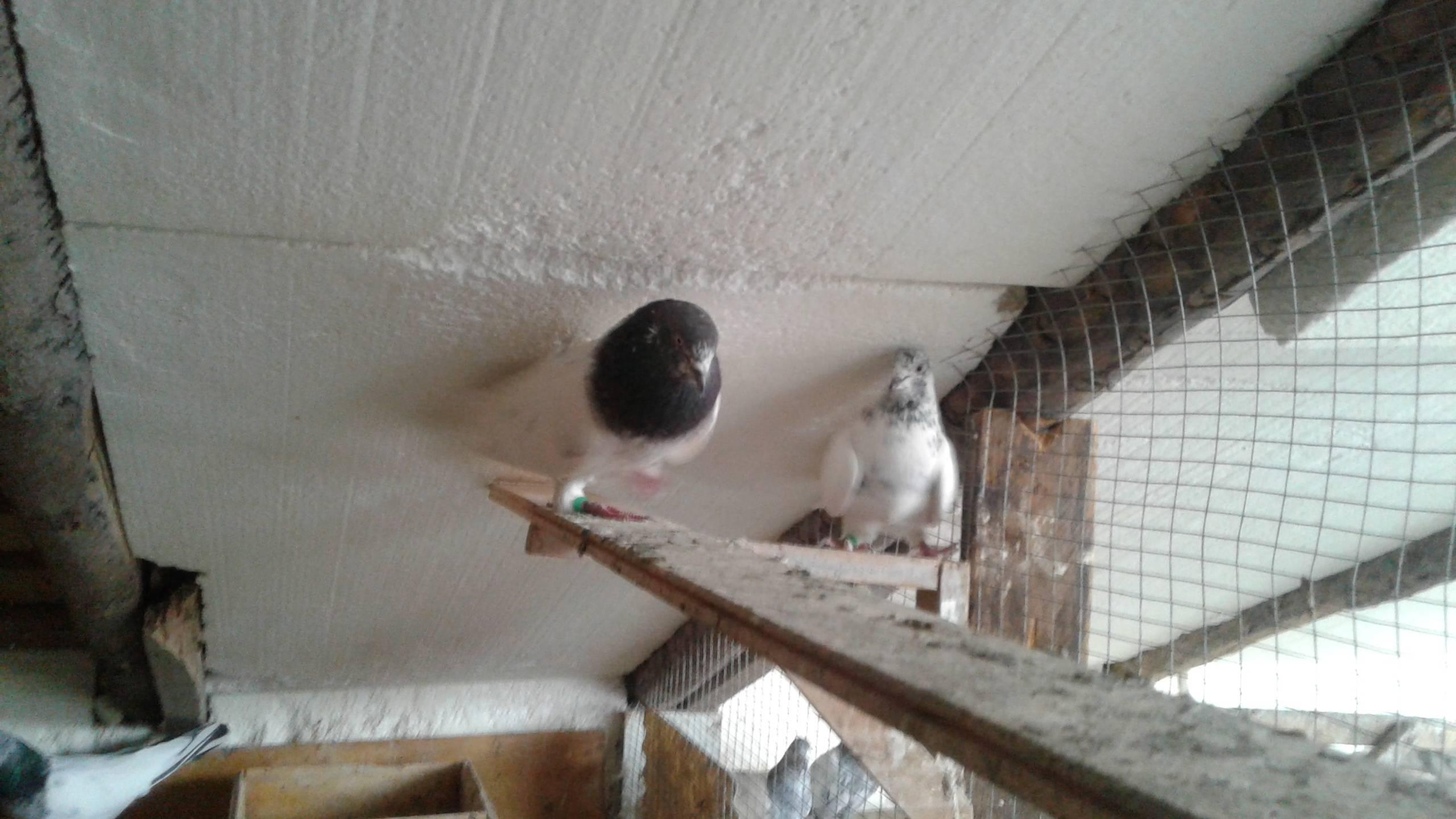 Обзор бойных голубей: правила ухода, содержания и разведение