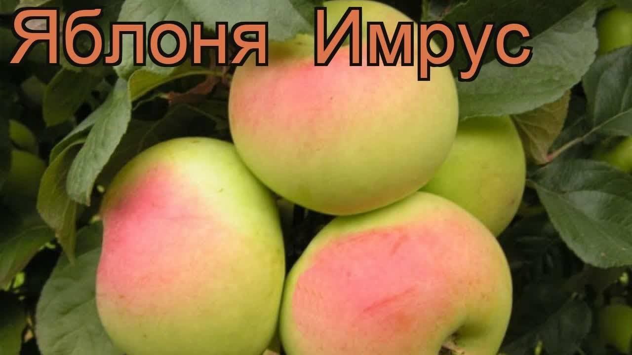 Сорт яблони коваленковское – описание, фото