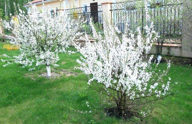 Вишня в подмосковье: лучшие сорта и посадка весной