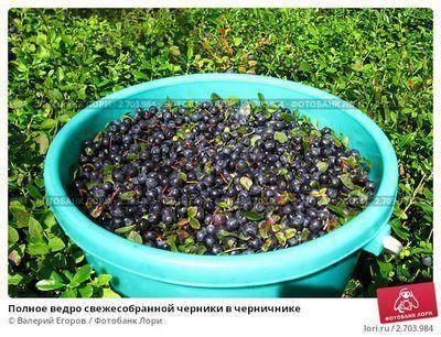 Лечебные свойства листьев черники: польза и вред