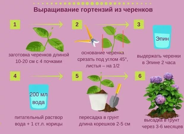 Как размножить гортензию черенками летом