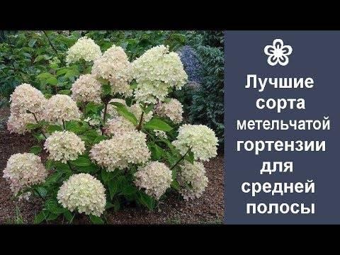 Популярные сорта метельчатой гортензии для московской области