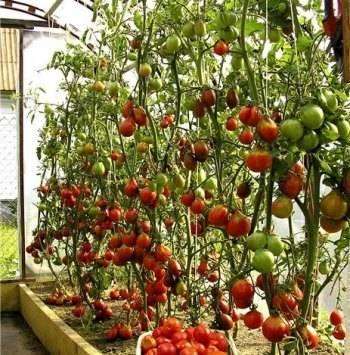 Формирование томатов в теплице и открытом грунте, в два стебля, схемы и советы