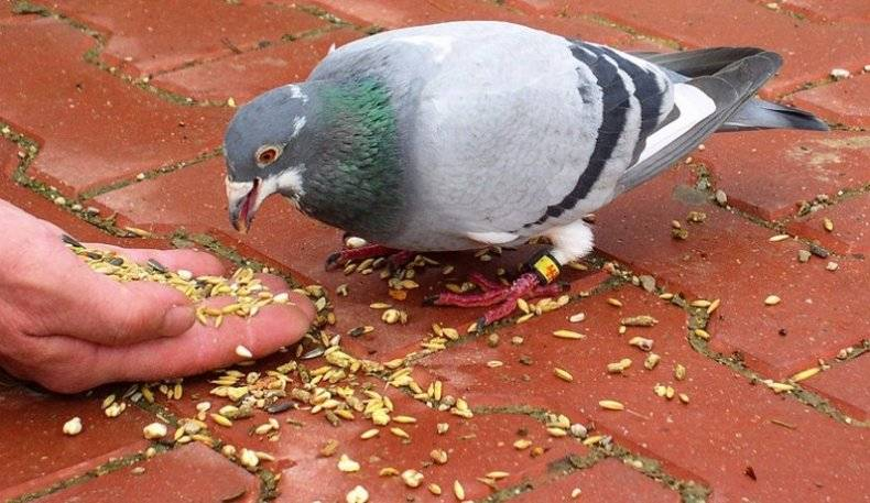 Стоит ли кормить голубей в городах — российская газета