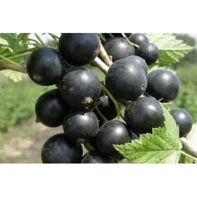 Смородина черный принц — ягоды грибы