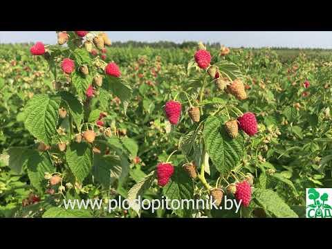 Малина «жар-птица» описание сорта — агротехника выращивания, ухода и посадки ягоды в открытом грунте (фото)