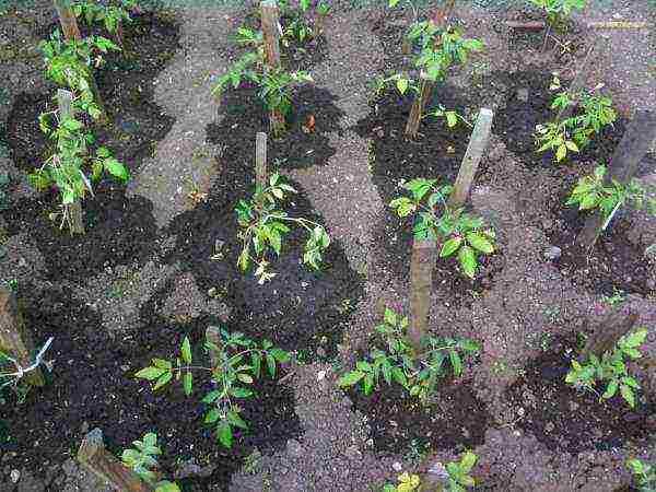 Схема посадки томатов в теплице - на каком расстоянии сажать помидоры в теплице для богатого урожая.   красивый дом и сад