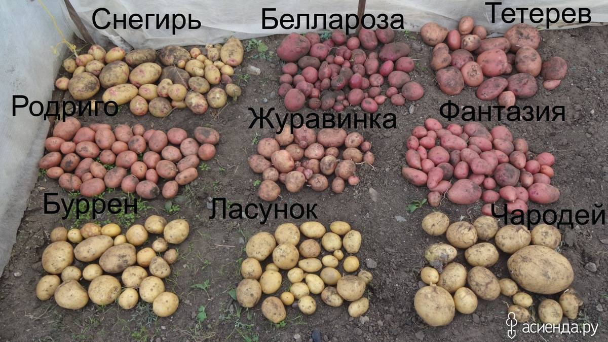 Картофель родриго