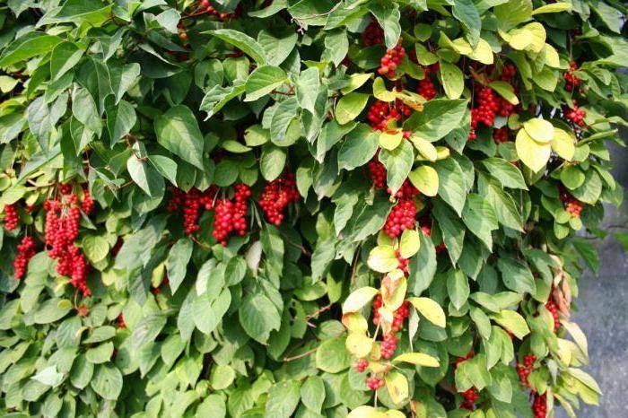 Лимонник китайский: как правильно выращивать и ухаживать за растением (130 фото + видео)