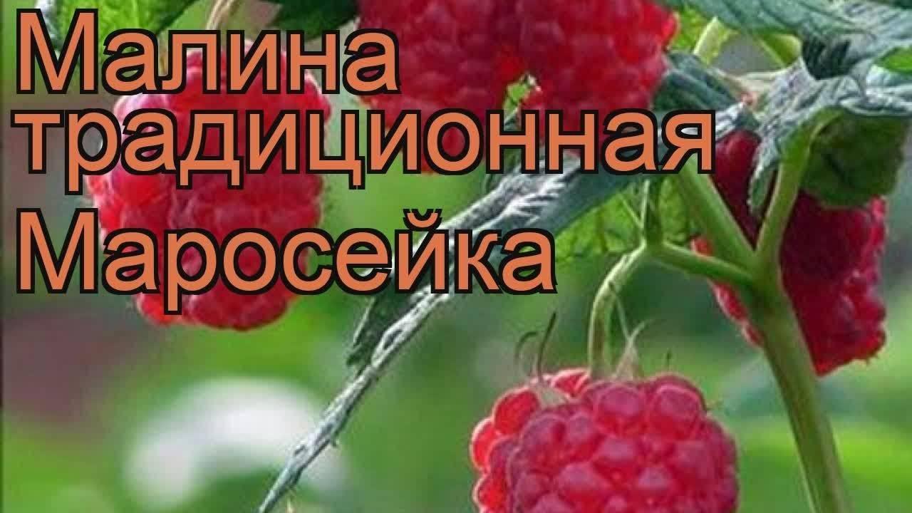 Малина красная королева: бесшипный сорт, урожайность