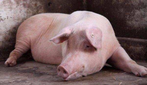 У свиньи температура: чем лечить? симптомы, как измерить