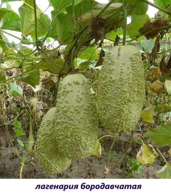 Что такое лагенария: полезные свойства и интересные факты о растении