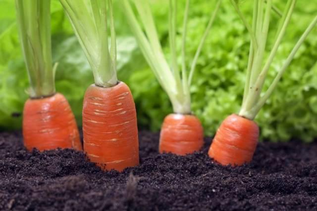 Лучшие семена моркови для выращивания в открытом грунте