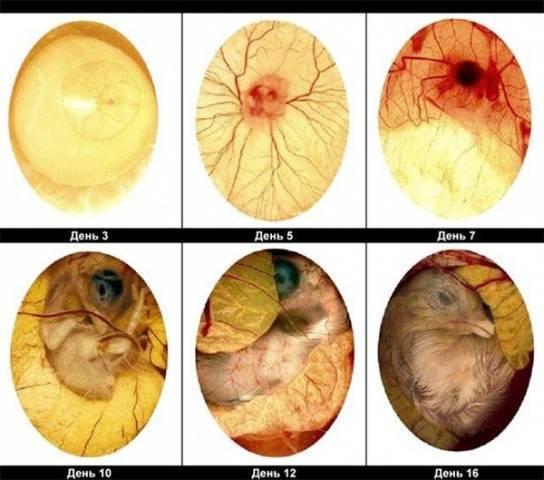 Как происходит инкубация яиц цесарок в домашних условиях?