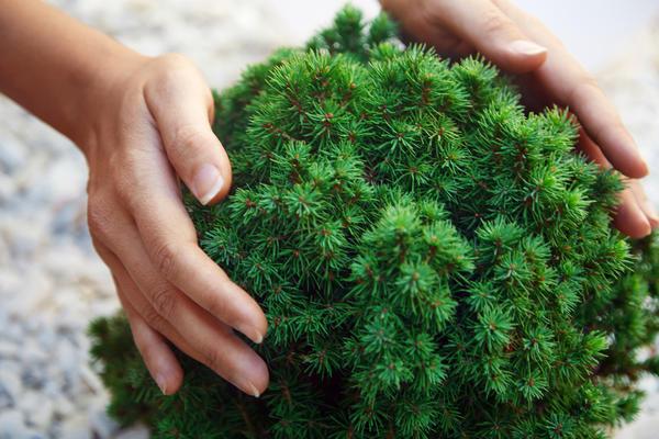 Карликовые хвойные растения