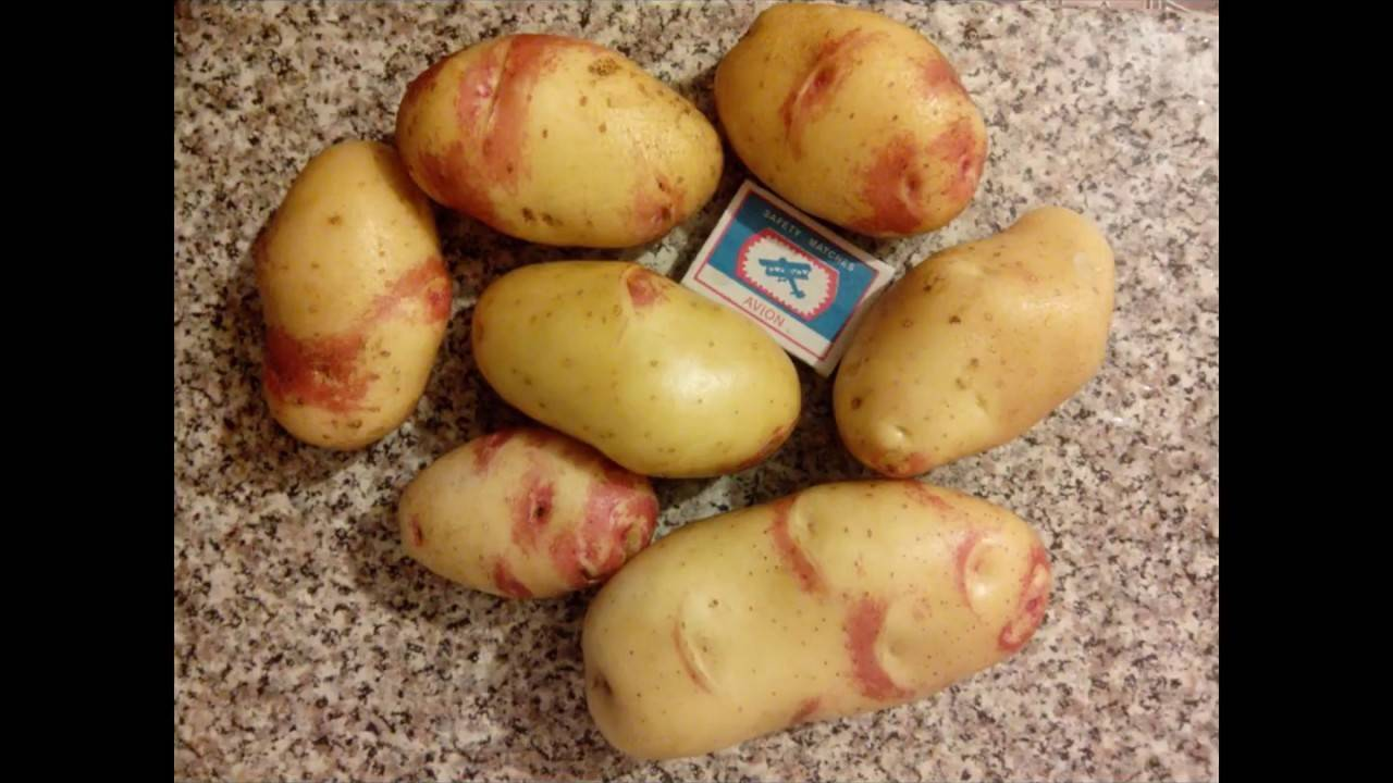 Картофель санте: описание сорта, характеристики, выращивание и уход, отзывы фермеров