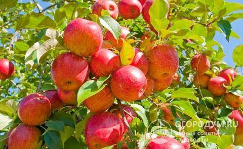 Яблоня «орловим»: описание сорта, фото и отзывы