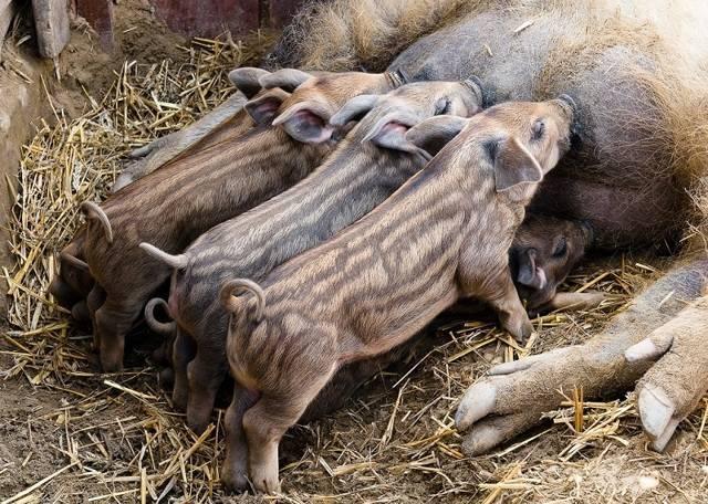 Венгерская мангалица: характеристика породы свиней, содержание и разведение