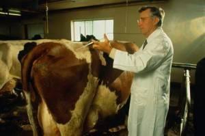 Как правильно сделать укол корове: внутримышечно, внутривенно, подкожно, назально