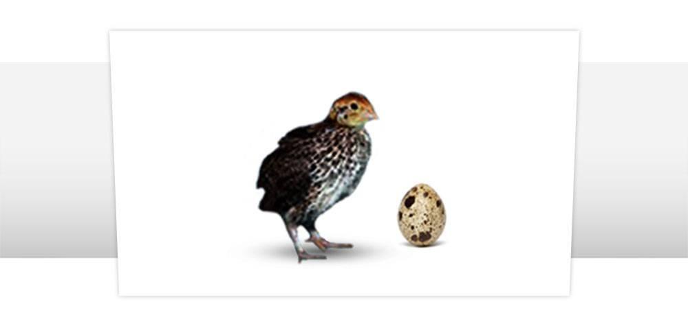 Правила и устройства для инкубации перепелиных яиц
