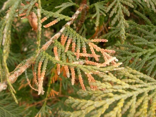 Описание болезней туи, лечение сохнущих и желтеющих ветвей