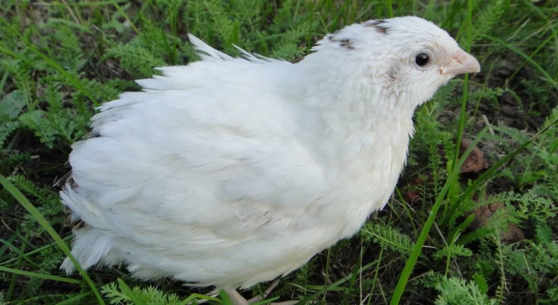 Белый техасский перепел описание породы
