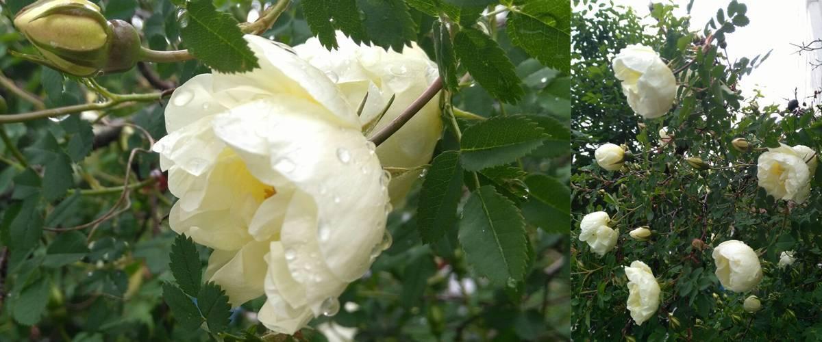 Как отличить розу от шиповника — особенные признаки