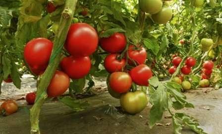 Самые урожайные сорта томатов для теплицы