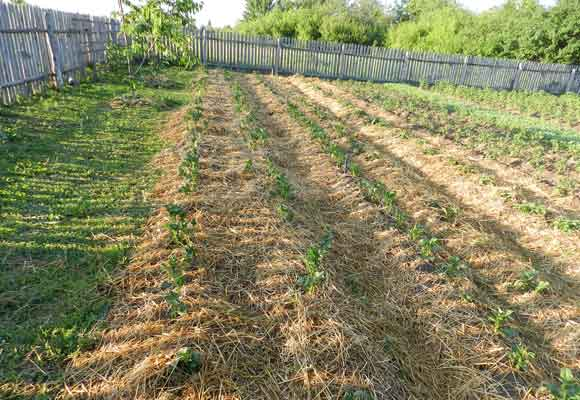 Выращивание картофеля гребневым способом: советы овощеводов