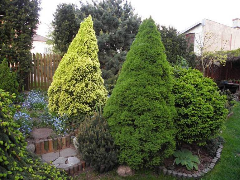 Ель коника: описание, посадка, уход, место в саду и фото