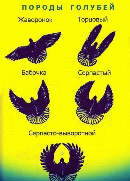 Голуби николаевские: видео, разведение