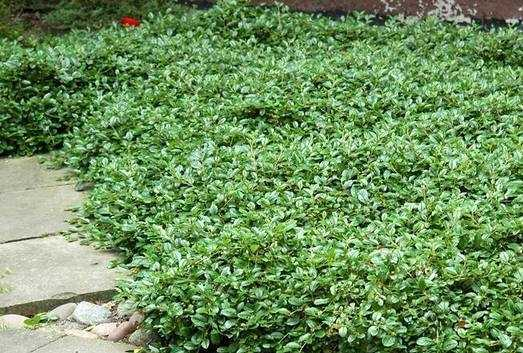 Кизильник даммера – неприхотливый кустарник для сада
