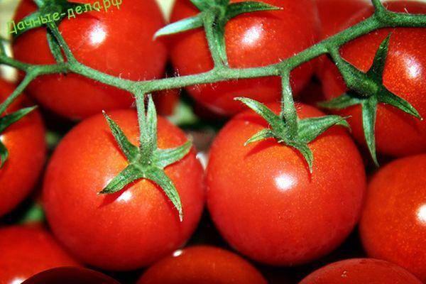 Томат султан f1 — вкусный и урожайный голландский гибрид