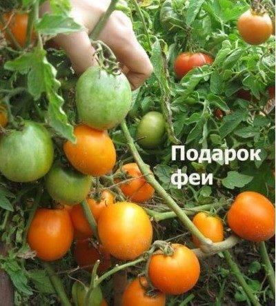 Сорт томата «подарочный»: описание, характеристика, посев на рассаду, подкормка, урожайность, фото, видео и самые распространенные болезни томатов