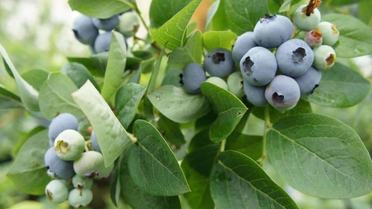 Голубика блю джей (блюджей, bluejay): посадка и уход, выращивание