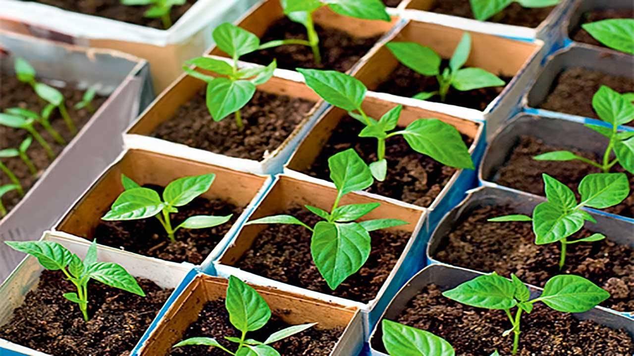 Когда сажать перец на рассаду в 2020 в домашних условиях:
