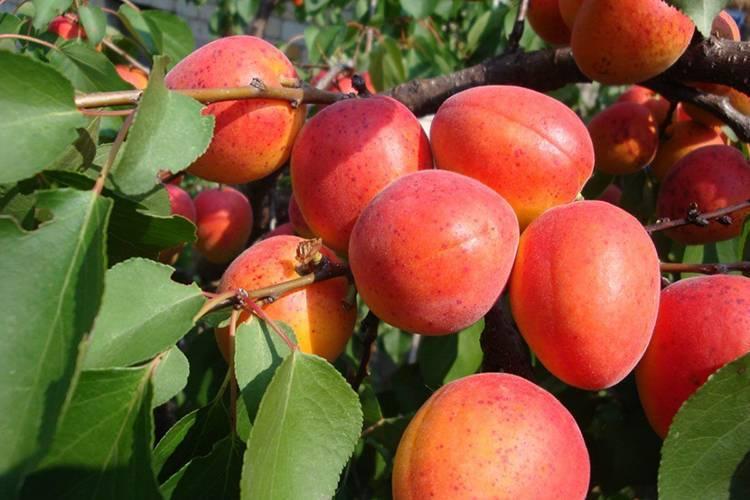 Абрикос саратовский рубин: ценные советы по выращиванию сорта