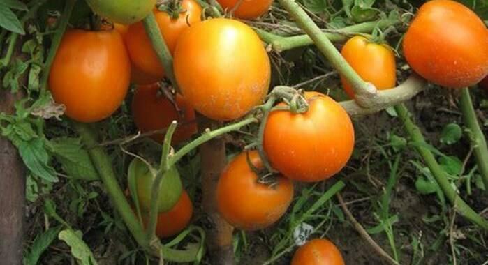Сорта крупных томатов для теплиц