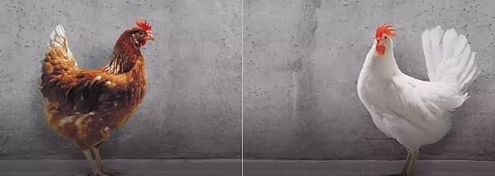 Декалб – яичный кросс. настоящие «царевны птицеводства» с отличными показателями продуктивности